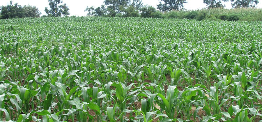 Young maize crops of Eunice Matingi Marwa, a Nuru Kenya farmer
