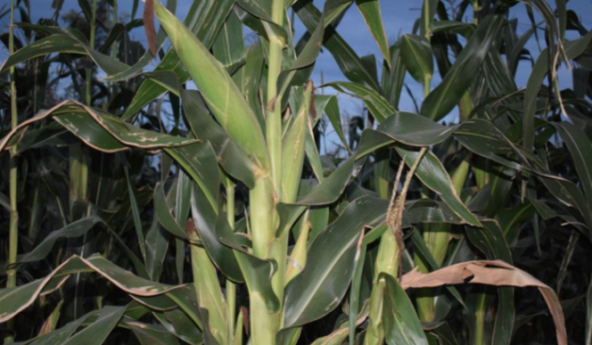 A section of maize plants in Penina Bunyise's farm in Nyametaburo Village in Kuria West, Migori County