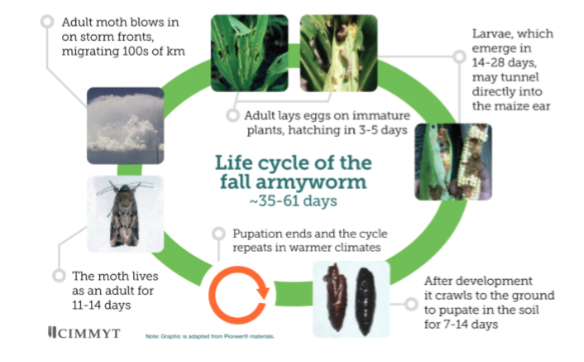 The life-cycle for FAW is fast and unpredictable in the new semi-arid and semi- tropical regions of S.S. Africa (credit CGIAR & CIMMYT, 2017)