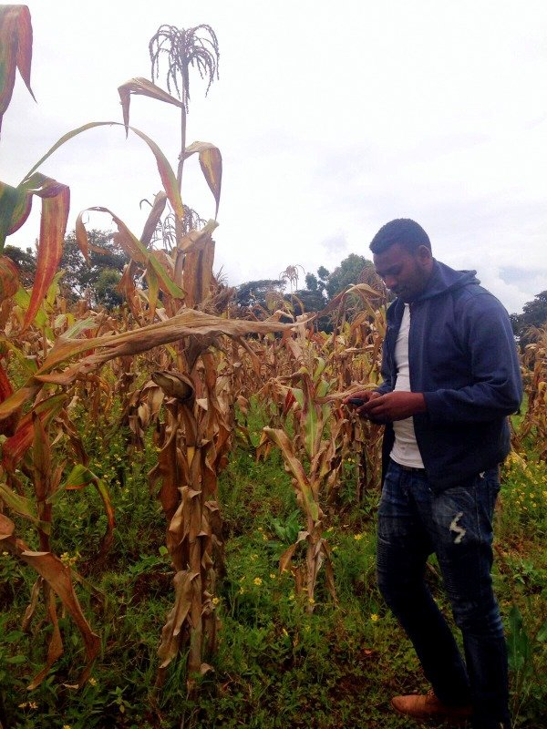 Nuru Ethiopia Data Entry Clerk Tewodros Dawit using a smartphone to record FAW damage to maize during the testing phase of FAMS for FAW in November 2017